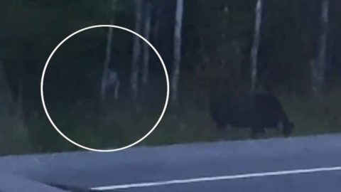 Guy Captures Strange 'Monster' On Film That Was Stalking A Moose