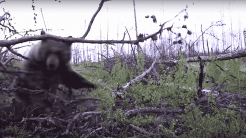 VIDEO: Mama Bear Charges Hunters In Ground Blind That Got Too Close To Her Cubs