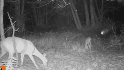 VIDEO: Fawn And Its Mother Get Ambushed  While Eating