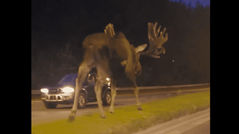 VIDEO: Driver Spots Massive Moose Walking Down The Middle Of The Road