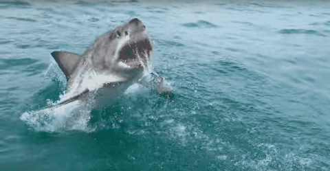 VIDEO: Great White Launches Out Of The Water, Surprising Tourists