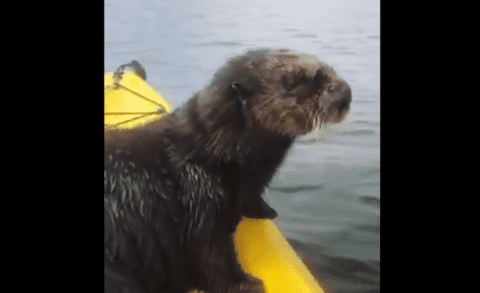 Watch A Sea Otter Hop Up On A Kayak To Catch A Ride