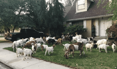 An Army Of Goats Descend On A Neighborhood In Bizarre Fashion