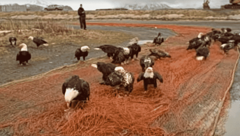 Watch Masses Of Bald Eagles Descend To Devour Fish Straight From The Net