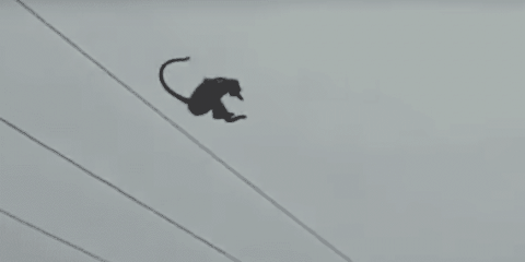 Watch A Monkey Perform A Gravity Defying Jump Off A Tower