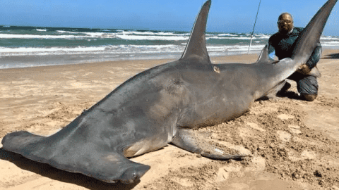 This Guy Caught A 14-Foot-Long Hammerhead And It's Even Bigger Than It Sounds