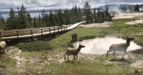 VIDEO: Bear Attacks And Chases Elk As Tourists Watch