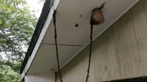 VIDEO: Ants Form A Bridge To Take Out A Wasp Nest
