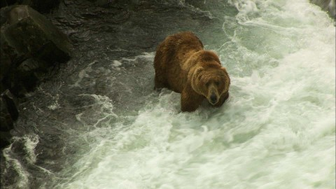 VIDEO: Kodiak Bears Can Eat Enough Salmon In One Sitting To Feed A Few Hundred People