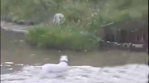 Watch Pitbull Chase Off A Wolf That Tried To Ruin Its Swim