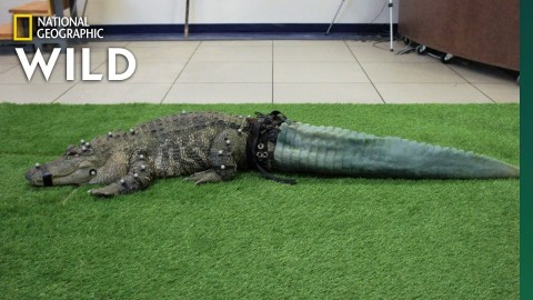 Stubbs The Tailless Alligator Gets A New Tail