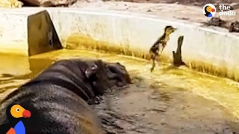 VIDEO: Friendly Hippos Help Reunite A Duckling With Its Mom