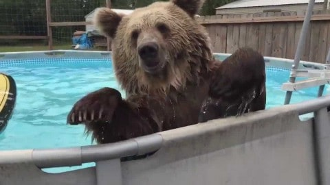 VIDEO: Grizzly Bellyflops Into Pool Because He's Living His Best Life