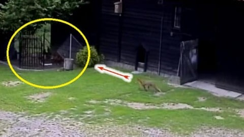 Watch Hero Dog Saves Chickens From A Hungry Fox Just In Time!