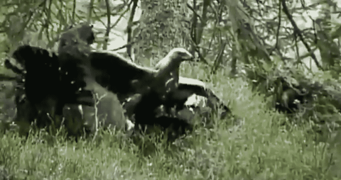 VIDEO: Golden Eagle Puts An Epic End To A Couple Of Wood Grouse Fighting
