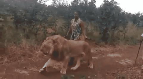 VIDEO: Woman Walks Alongside A Lion Like It's An Overgrown Housecat