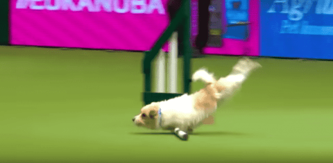 VIDEO: Clumsy Jack Russell Loses Dog Show But Wins Hearts Everywhere
