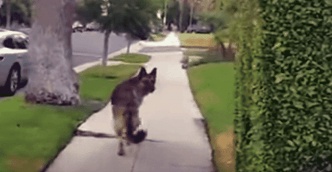 Watch German Shepherd's Priceless Reaction When He Realizes His Owner Isn't Behind Him