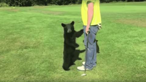 VIDEO: Baby Bear Greets Golfer And Gives Him Putting Tips