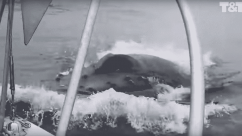 VIDEO: Whale Breaches Right On The Side Of A Boat, Scraping Barnacles Off In The Process