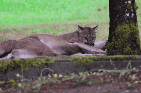 Woman Photographs And Videos Cougar Mauling A Deer In Her Backyard