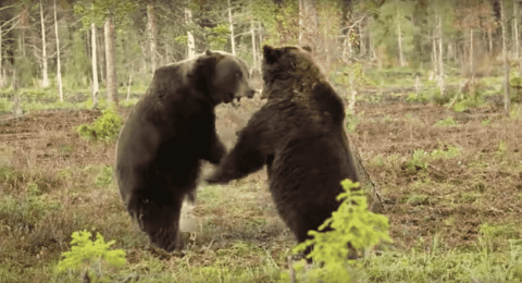 Watch Two Grizzly Bears Go Head-To-Head In Savage Brawl