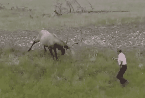 Watch Moron Nearly Get Attacked By A Bull Elk While Trying To Take A Picture