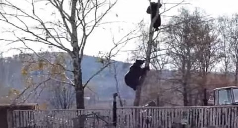 VIDEO: Bear Chases Man Up Tree Who Was Attempting To Escape