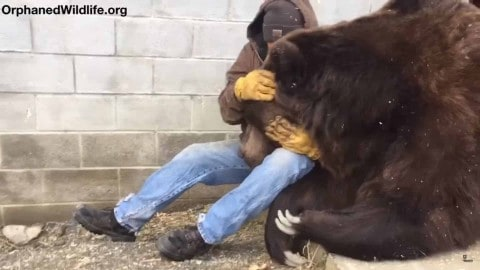 VIDEO: Grizzly Is A Real 'Lap Bear' As It Gets Petted After A Long Day