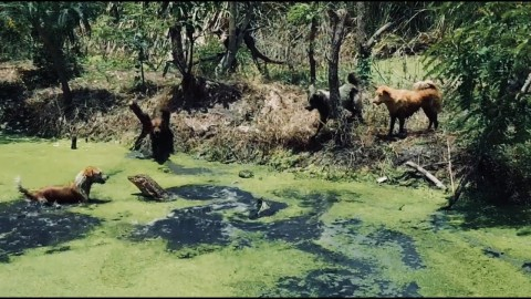 VIDEO: Four Dogs Lose It After Spotting A Massive Monitor Lizard In The Water