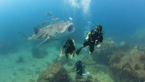 VIDEO: Super Friendly Baby Whale Shark Greets Divers