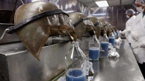 VIDEO: Here's Why Horseshoe Crab Blood Costs $60,000 A Gallon