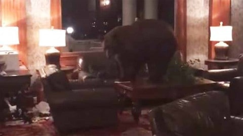 VIDEO: Bear Wonders Into Hotel Lobby And Tests Out The Couch