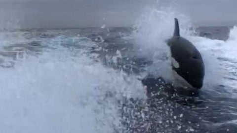 Watch Three Orcas Chase After A Fishing Boat