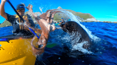 Watch A Seal Fling An Octopus Right At A Kayaker's Face