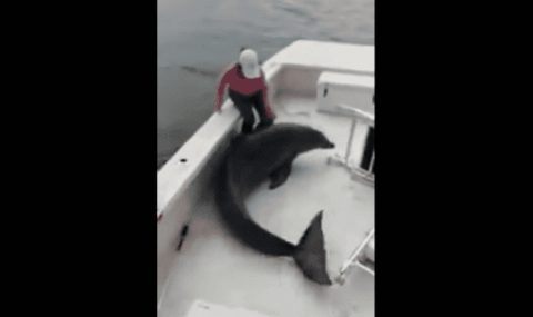 Dolphins Swim In Boat's Wake And One Ends Up Jumping On Board