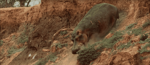 VIDEO: Hippopotamus Climbs Down A Steep Cliff, Proves Hippos Aren't Graceful