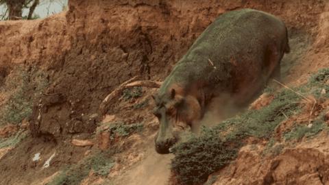 VIDEO: Hippopotamus Climbs Down A Steep Cliff, Proves Hippos Aren't Graceful