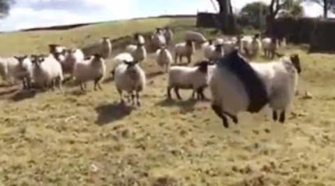 VIDEO: Sheep Gets Stuck In A Tire Swing And Decides To Make The Best Of It