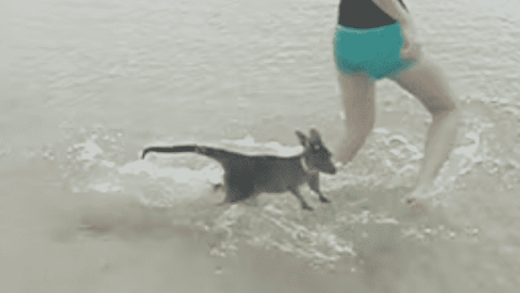 Watch A Baby Kangaroo Have Its Best Day Ever At The Beach