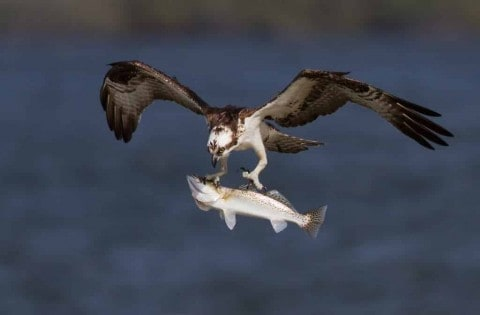Watch This Osprey Show Why It's The Ultimate Fisher
