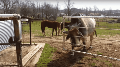 VIDEO: Brahma Bull Doesn't Need Any Help Getting The Gate Open