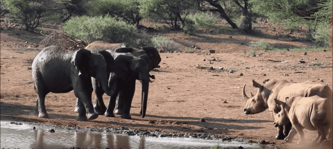 VIDEO: Elephant Chunks Rock At Rhinos That Tried To Overtake Its Watering Hole