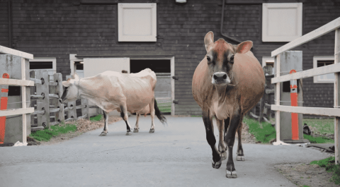 VIDEO: These Cows Are The Epitome Of Excitement When They Get Let Out After Winter