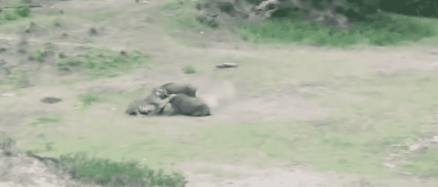 Watch Overambitious Tiger Attack A Herd Of Buffalo