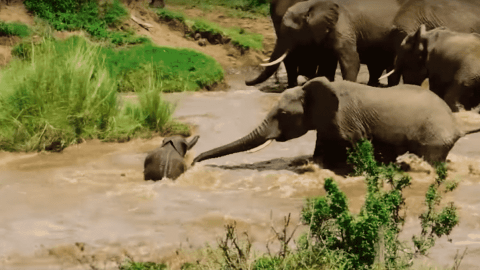 VIDEO: Baby Elephant Gets Swept Away During River Crossing; Mom Comes To The Rescue