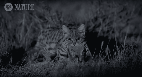 VIDEO: The Deadliest Cat On The Planet Isn't What You'd Expect