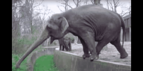 VIDEO: Only The Hardest To Reach Grass Will Do For This Elephant