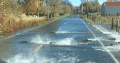 Forget Swimming Upstream! Watch These Salmon Swim Across The Road!