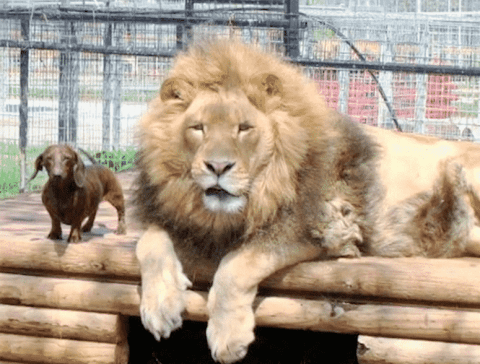 Unlikely Friendship: This Lion And Dachshund Are Best Buddies And Don't Care What Anyone Says